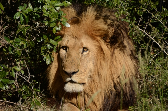 This is not Cecil, just another beautiful male lion at a game reserve in South Africa