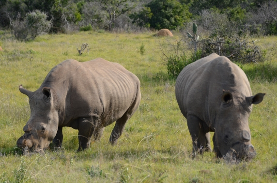 White Rhinos at Schotia Game Reserve. These two were poached but fortunately survived having their horns cut off.