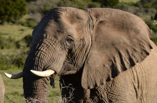 Female Elephant at Schotia Game Reserve